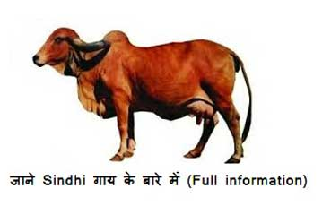 Sindhi-cow-breed-in-india