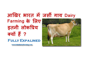 Jersey-cow-in-india-all-inf