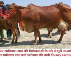 sahiwal-cow-in-india-full-i