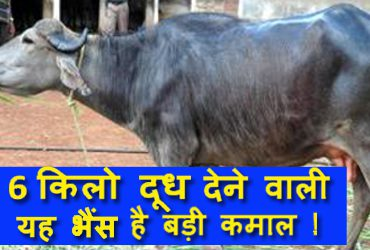 Surti Breed Buffalo Origin, Characteristics, Milk Production and Cost